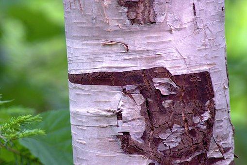 White Birch Bark, Aspen, Birch, Tree, Trunk, Nature