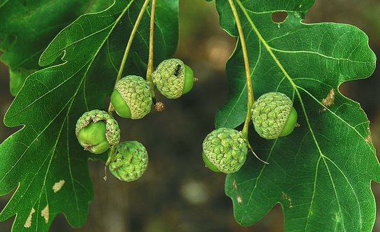 Oak, Acorns, Ant, Leaves, Nut, Fruit, Infructescence