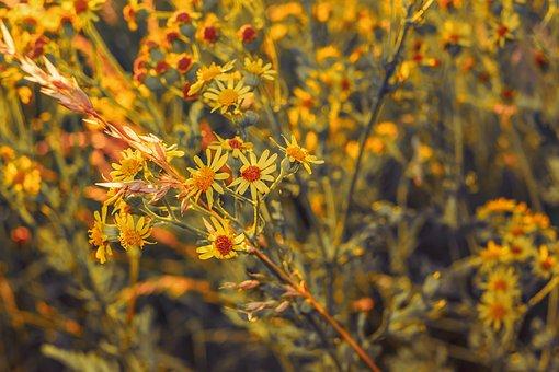 Jakobs Greiskraut, Senecio Jacobaea, Old Herbs, Flowers
