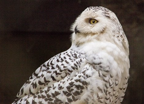 Owl, Snowy Owl, Bird, Raptor, Plumage, Feather, Nature