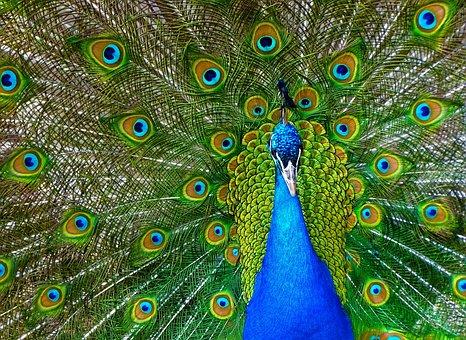 Peacock, Bird, Plumage, Pride, Colorful