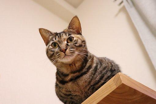 Cat, Pet, Animal, Cute, Creatures, Kijitora, Brown