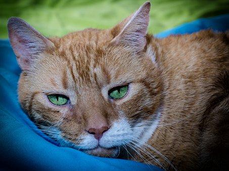 Cat, Red, Mackerel, Pet, Domestic Cat, Animal, Cat Face