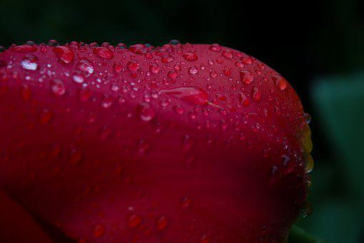 Tulip, Drip, Rain, Water, Color, Plant, Out