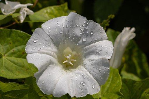Bindweed, Flower, White, Plant