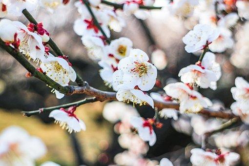 Japan, Plum Blossom, Plum, Flowers, Flower, Natural