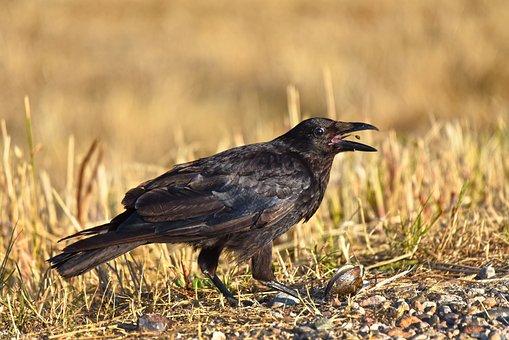 Crow, Bird, Animal, Corvus, Wildlife, Plumage, Feather