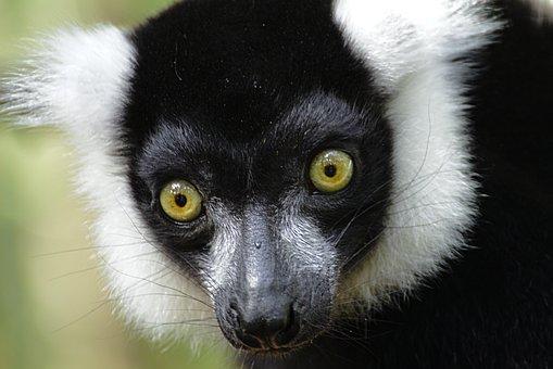 Lemur, Forest, Monkey, Monkeyland, Primate, Santuary