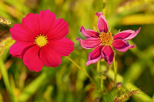 Cosmea, Flower, Blossom, Bloom, Red, Evening Sun