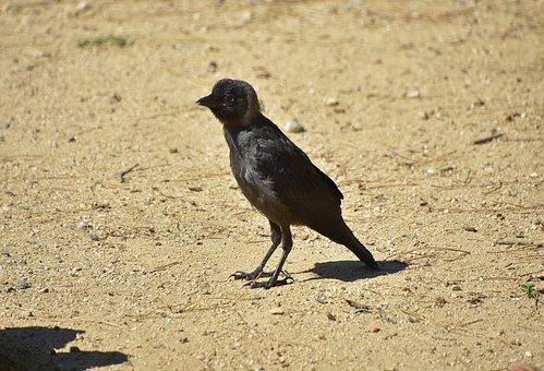 Crows, Rook, Black, Birds, Pen
