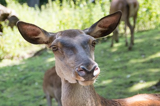 Roe Deer, Forest, Nature, Scheu, Red Deer, Wild, Animal