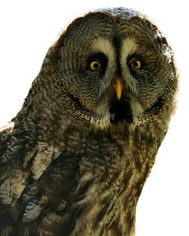 Bart Owl, Strix Nebulosa, Bird, Owl, White Background