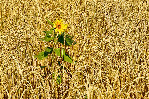 Nature, Agriculture, Cornfield, Sun Flower, Lonely