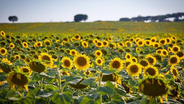 Sunflower, Sun, Summer, Flower, Yellow, Field