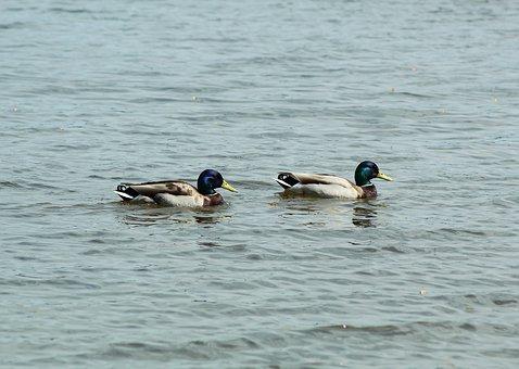 Ducks, Water, Swim, Bird, Nature, Water Bird