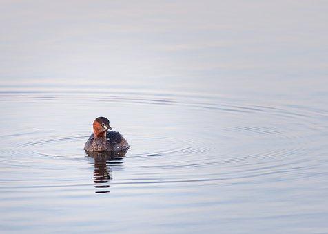 Little Grebe, Grebe, Water, Duck, Bird, Avian