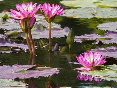 Flowers, Water Lilies, Garden Pond, Pond Flower, Plant