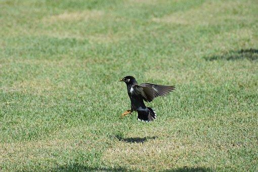 Animal, Park, Lawn, Bird, Wild Birds, Starlings