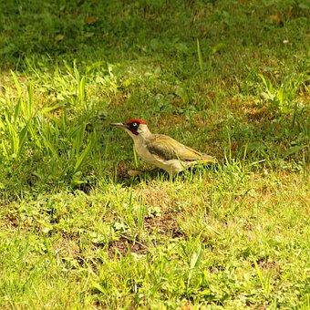 Woodpecker, Bird, Green, Nature, Animal World