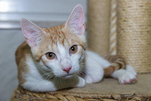 Cat, Pet, Domestic Cat, Animal, Fur, Cat Face