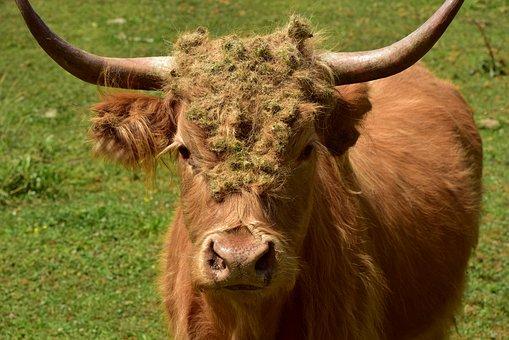 Galloway, Highland Beef, Horns, Beef, Mammal, Animal