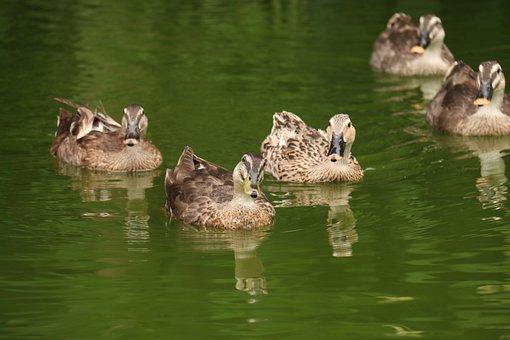 Duck, Lake, Water, Nature, Animal, Bird, Swim