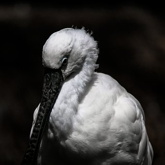 Animal World, Bird, Heron, Spoon Heron, Bill