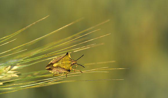 Barley, Ear, Bug, Leaf Bug, Insect, Flight Insect