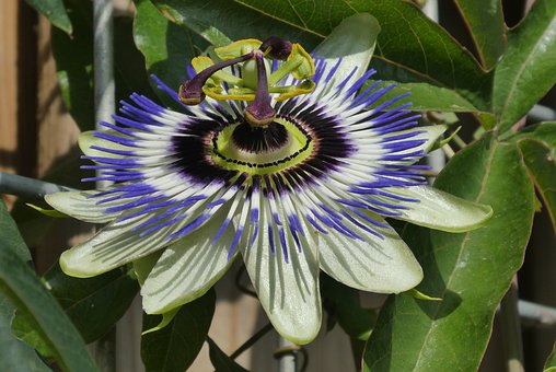 Passion Flower, Garden Plant, Beautiful Colors, Flower