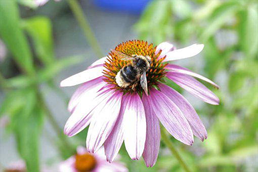 Bee, Hummel, Flower, Blossom, Bloom, Honey, Pink, Red