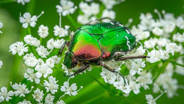 Bespozvonochnoe, Insect, Coleoptera, Beetle, Chafer