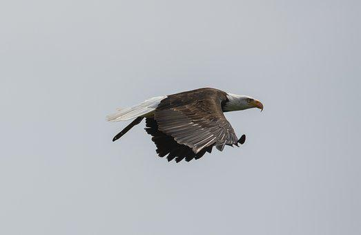 White Tailed Eagle, Adler, Bird Of Prey, Raptor