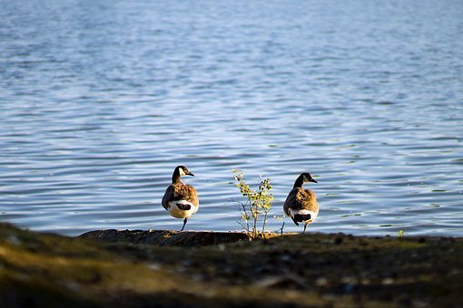 Pair, Geese, Couple, Together, Birds, Nature, Water