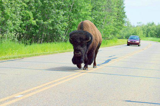 Bison, Elk Island National Park, Park, Buffalo, Road