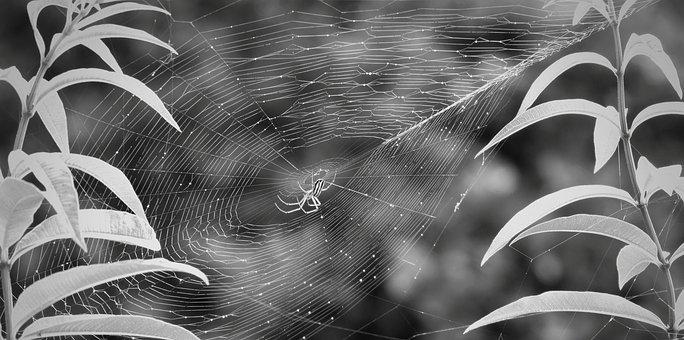 Black And White, Garden, Insect, Arachnid, Armenia