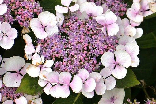 Hydrangea, Garden Plant, Summer, Garden, Flower, Bloom