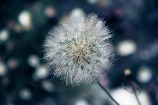 Flower, Color, No Person, Dandelion, Plant, Blur