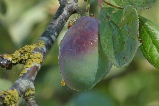 Plum, Plum Tree, Mature, Branch, Fruits, Tree, Fruit