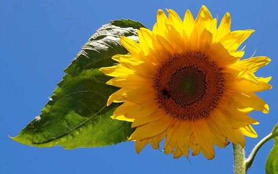 Sun Flower, Yellow, Blossom, Bloom, Flowers, Bright