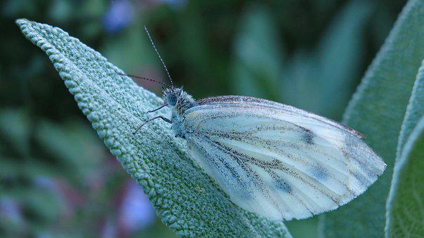 Butterfly, Butterflies, White Ling, Green Veined White