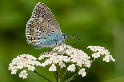 Edelfalter, Butterfly, Blue, Blossom, Bloom, Macro