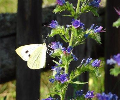 Butterfly, Cornflower, Cabbage White, Summer, Flower