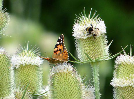 Butterfly, Thistles, Flower, Nature, Insects, Summer