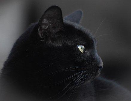 Cat, Portrait, Pet, Kitten, Eye, Domestic