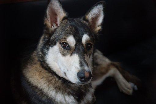 Dog, Pet, German Shepherd, Crossbreed, Mutt, Animal