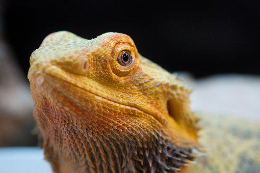 Lizard, Pet, Bearded Dragon, Dragon, Scaly, Exotic