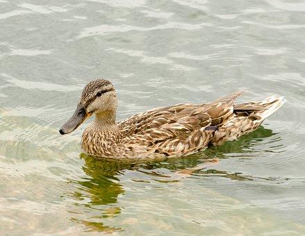Maschpark, Nature, Waters, Lake, Duck Bird, Animal