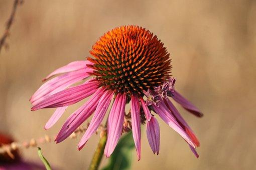 Echinacea, Sun Hat, Pallida, Blossom, Bloom