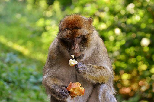 Barbary Ape, Eat, Apple, Endangered Species