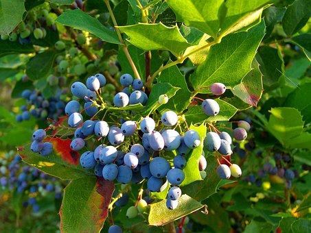 Holly Berry, Blue Harvest, Fall Harvest